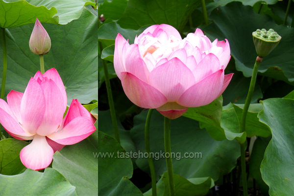 Lotus Plant with Pink Flower